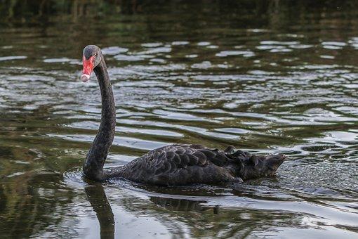 Swan, Black, Water Bird, Waters, Swim, Mourning Swan