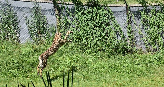Cheetah, Jump, Mammal, Hunting, Wild, Wildcat, Speed