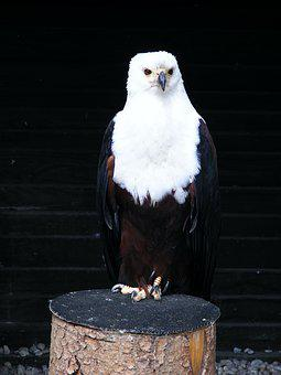 Adler, Screaming Eagles, Bird, Birds Of Prey Show