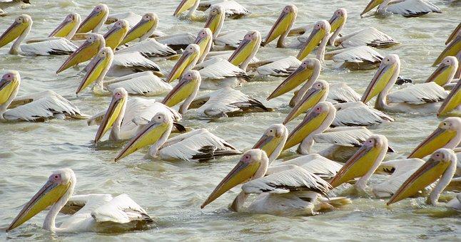 Bird, Senegal, Nature, Africa, Pelican, Animal Kingdom