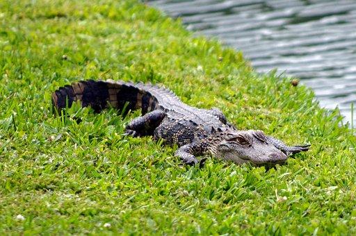 South Carolina Alligator, Alligator, Animal, Reptile