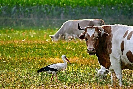 Cow, Stork, Meadow, Animal, Bird, Livestock, Pasture