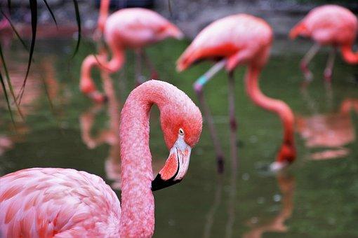Flamingos, Herd, Plumage, Exotic, Pond, Group, Animals