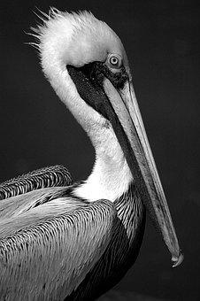 Pelican, Bird, Avian, Waterbird, Tropical Bird