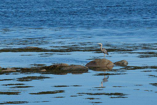Bird, Heron, Beach, Nature, Water, Beak, Wings, Plumage