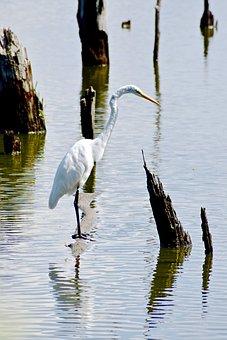 Heron, Bird, Water, Animal, Nature, Wildlife, Beak