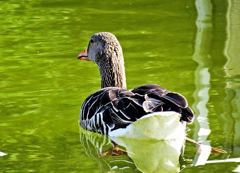 Goose, Greylag Goose, Bird, Water Bird, Animal
