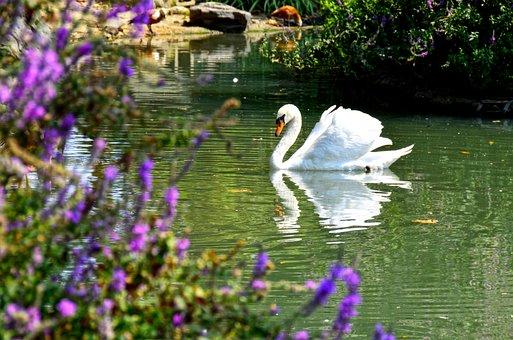 Swan, Bird, Lake, Elegant, Fauna, White, Swim, Nature