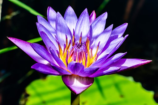Lotus, Flower, Water, Nature, Blossom, Beautiful, Plant