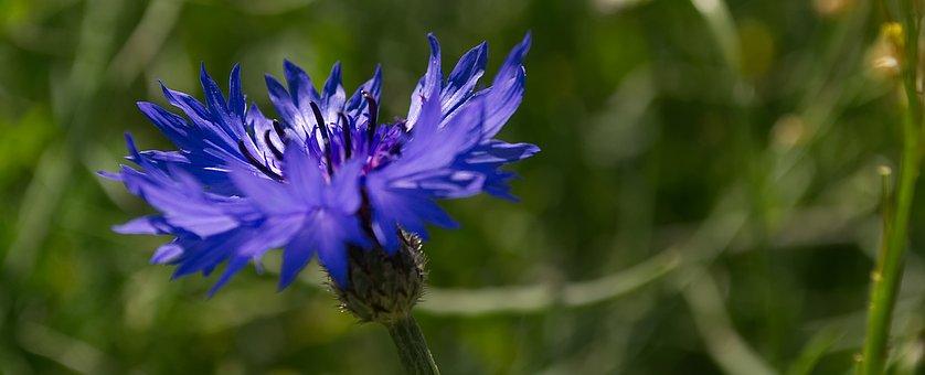 Flower, Cornflower, Blue, Blossom, Bloom, Plant, Nature