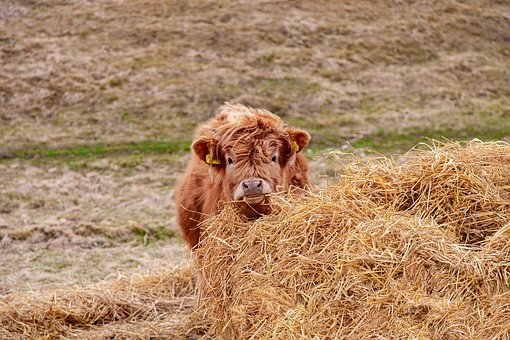 Cow, Calf, Highland, Brown, Scotland, Grass, Meadow