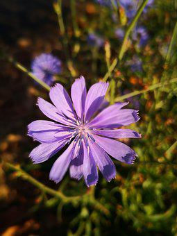 Cornflower, Blossom, Bloom, Plant, Nature, Summer