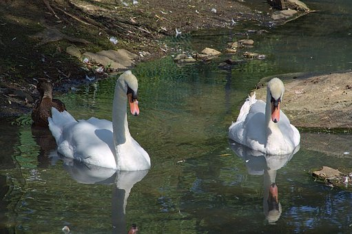 Swan, White, Zoo, Bird, Nature, Two, Couple, Water
