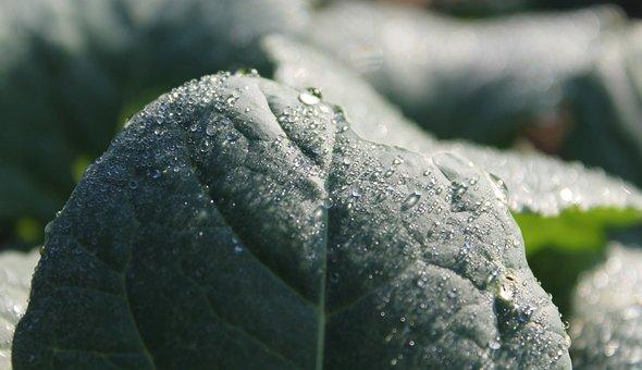 Dew, Morgentau, Leaf, Spinach, Nature, Dewdrop, Drip