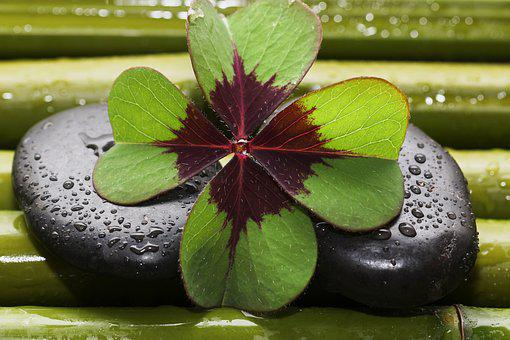Four Leaf Clover, Bamboo, Drop Of Water, Drip, Macro
