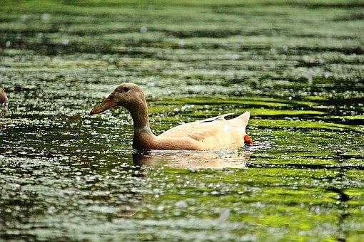 Duck, Bird, Water, Pond, Duck Chip, Running Duck