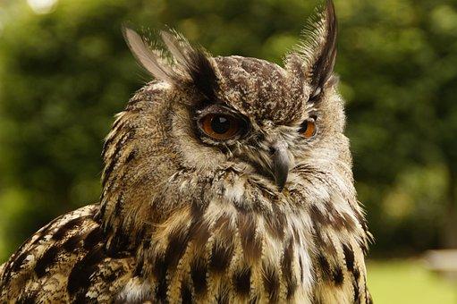 Eagle Owl, Owl, Head, Bird, Plumage, Nature, Feather
