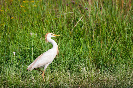 Golden Egret, Bird, Nature, White, Heron, Animal, Egret