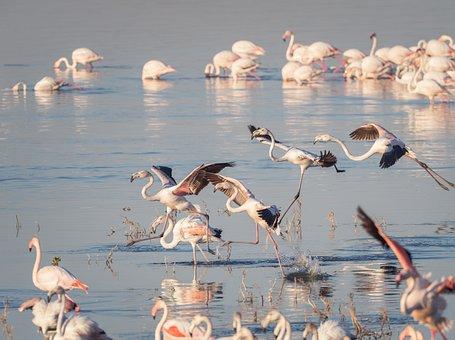Greater Flamingoes, Flamingos, Birds, Flying, Nature