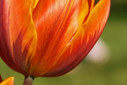 Tulip, Orange, Yellow, Bloom, Blossom, Flora, Flower