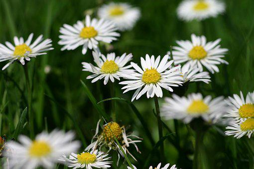 Flower, Flowers, Yellow, White, Meadow, Daisy, Daisies