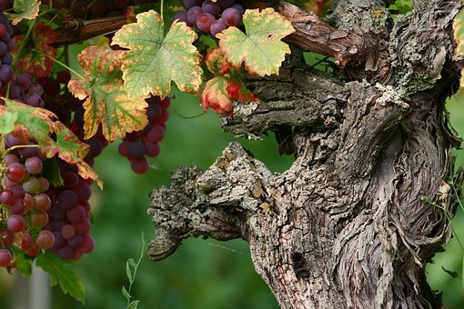 Wine, Vines, Grapes, Alsace, Vine