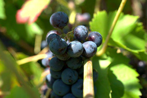 Grapes, Wine, Winegrowing, Grapevine, Vines, Vine