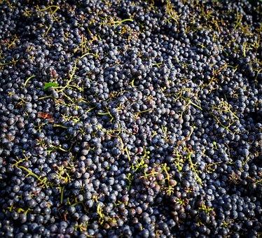 Grapes, Harvest, Vines, Vintage, Wine, Fruit