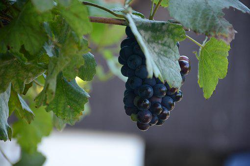 Cluster, Blue, The Grapes, Fruit, Grapevine
