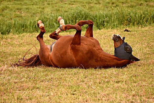 Horse, Animal, Mammal, Rolling, Grass, Meadow, Pasture
