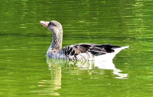 Goose, Greylag Goose, Wild Goose, Water Bird