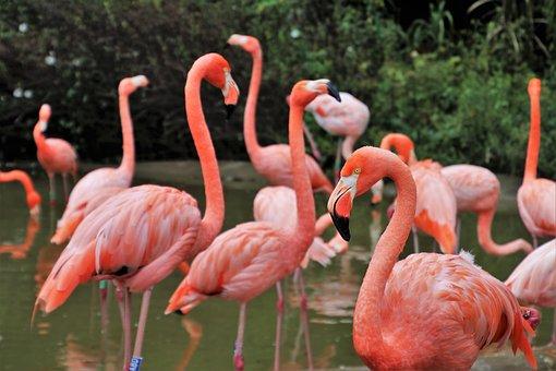 Flamingos, Birds, Herd, Beak, Pen, Water, Pink, Animals