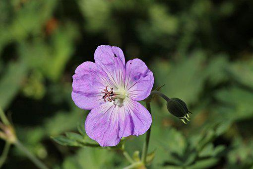 Cranesbill, Geranium, Hybrid, Blossom, Bloom, Flower