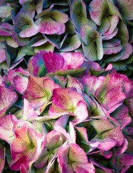 Hydrangea, Flowers, Bright, Close Up, Beautiful