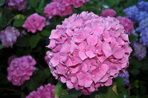 Hydrangea, Pink, Bloom, Garden, Nature, Plant