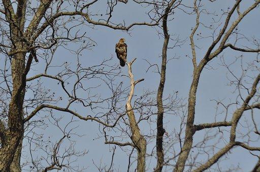 Eagle, Majestic, Junior-eagle, Sky, Wildlife, Nature