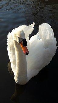 Swan, Bird, Nature, Plumage, Lake, Water, Pen