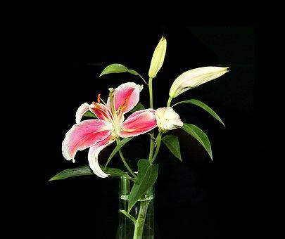 Lily, Bush Lily, On A Black Background, Flowers