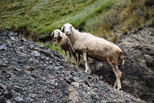 Sheep, Livestock, Stone, Nature, Mammal, Lamb, Meadow