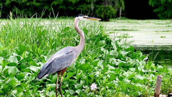 Bayou, Bird, Sinner, Louisiana, Marsh, Nature, Wild