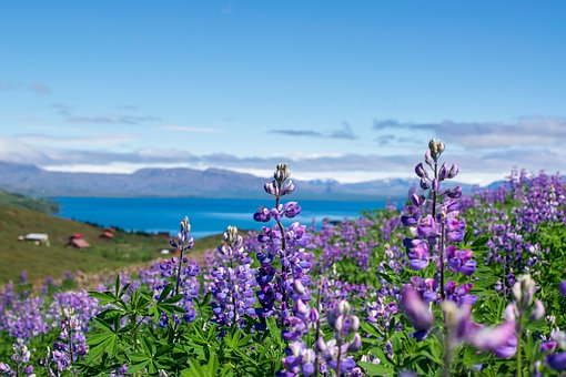 Lupins, Flower, Nature, Lupine, Landscape, Iceland
