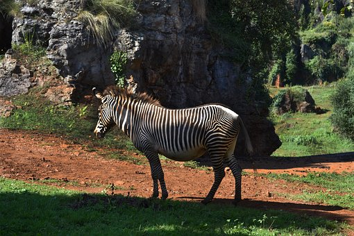 Zebra, Nature, Cabarceno, Mammal, South Africa, Zoo