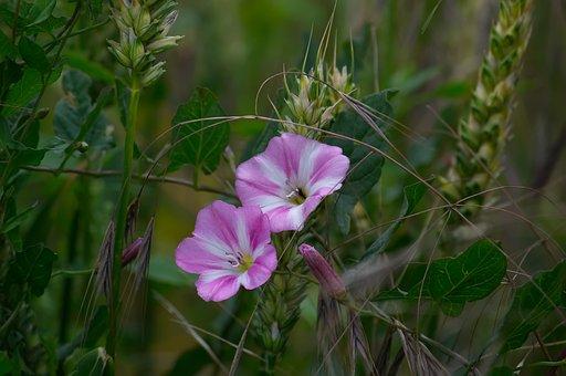 Bindweed, Flower, Meadow, Pink, Blossom, Bloom, White