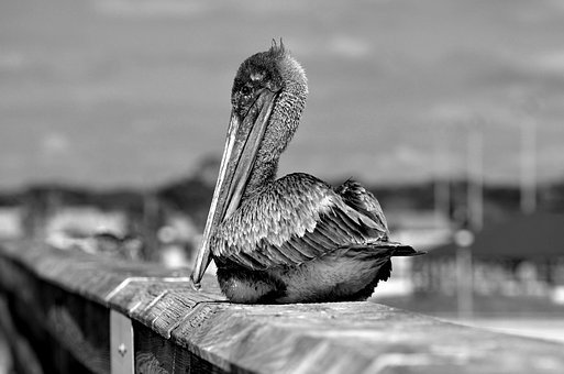 Pelican, Wildlife, Bird, Avian, Monochrome, Nature