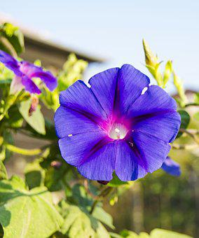 Morning Glory, Flower, Vibrant, Bloom, Purple, Green