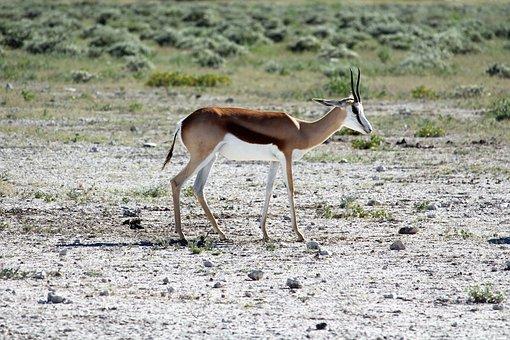 Namibia, Etosha, National Park, Gazelle, Safari