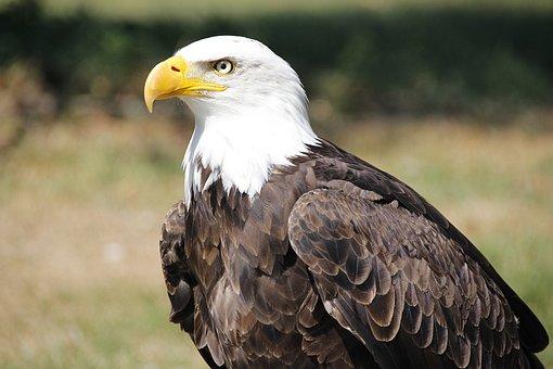 Bald Eagle, Adler, Raptor, Bill, Nature