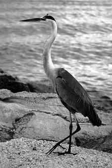 Bird, Wildlife, Water, Nature, Animal, Egret, Natural