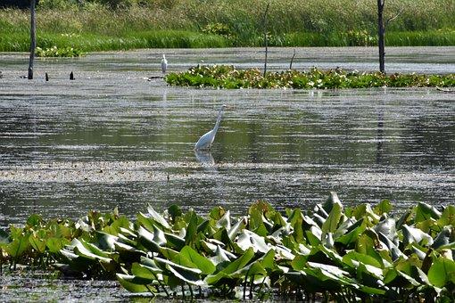 Heron, Blue, Bird, Nature, Wildlife, Animal, Water