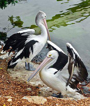 Pelicans, Birds, Waterbirds, Nature, Plumage, Avian